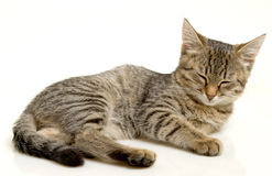 Dozing kitten. Stock Image