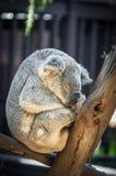 Dozing Koala Bear Rests Stock Photos