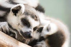 Dozing lemur cattas Royalty Free Stock Image