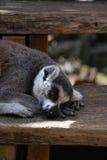 Dozing lemur. Lemur dozing on some wooden steps Stock Photography