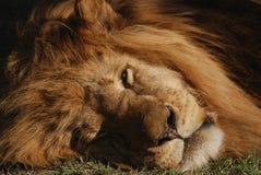 Dozing lion Stock Image