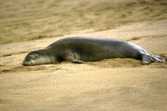 Dozing Monk Seal on Kauai Royalty Free Stock Photography