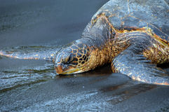 Dozing Oblivious Green Sea Turtle royalty free stock images
