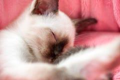 Dozing Thai kitten in pink pet bed close-up Royalty Free Stock Image