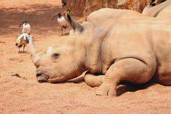 Dozing white rhinoceros Royalty Free Stock Images