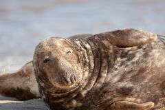 Dozy animal. Sleepy lethargic seal feeling drowsy. Eyes half closed. Cute funny wildlife meme image of a lazy hangover morning trying to get up. The morning stock photos