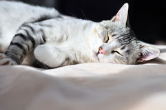 Dozy cat Stock Images