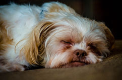 Dozy Dawg Royalty Free Stock Image