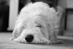 dozy hund arkivbild