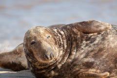 Dozy zwierzę Śpiący letargiczny foki czuć półsenny Przygląda się połówkę zamykającą zdjęcia stock