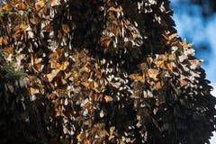 Dozzine di farfalle di monarca sull'albero di abete di Oyamel Immagini Stock Libere da Diritti