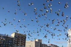 Dozzine di uccelli di volo in cielo blu fotografie stock