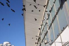 Dozzine di uccelli di volo in cielo blu immagine stock