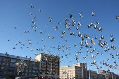Dozzine di uccelli di volo in cielo blu fotografia stock libera da diritti