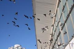 Dozzine di uccelli di volo in cielo blu immagini stock libere da diritti