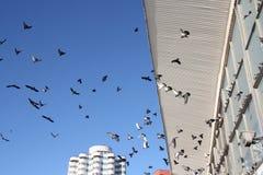 Dozzine di uccelli di volo in cielo blu immagini stock