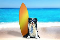 Dog on the beach with surfboard. The dog is sitting on the beach in a tie and blue sunglasses. Behind it is a surfboard. In the background is the clear sea. It`s royalty free stock photos