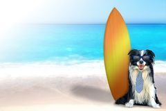 Dog on the beach with surfboard. The dog is sitting on the beach in a tie and blue sunglasses. Behind it is a surfboard. In the background is the clear sea. It`s royalty free stock images