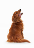 Dpg. Brown dachshund on white background Stock Images
