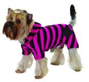 dräkt för pink för svart hund randig Royaltyfria Foton