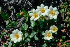 Dríades das flores na tundra de Chukotka Fotos de Stock