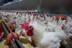 Drób uprawia ziemię dla uprawiać ziemię mięso lub jajka dla jedzenia 2 fotografia stock