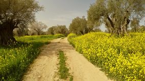 Dróg gruntowych prowadzenia w głębie stary królewski Angielski oliwka ogród, wiele kolorów żółtych kwiaty w zimie w Cypr zbiory wideo