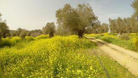 Dróg gruntowych prowadzenia w głębie stary królewski Angielski oliwka ogród, wiele kolorów żółtych kwiaty w zimie w Cypr zdjęcie wideo
