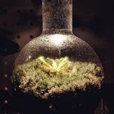 Drósera na garrafa cônica Imagens de Stock Royalty Free