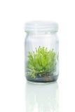 Drósera (planta carnívora), cultura de tecido de planta no laboratório Fotografia de Stock Royalty Free