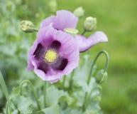 dröm- purple Royaltyfri Bild