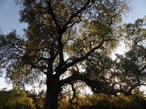 dröm- tree Royaltyfri Fotografi