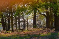 Dröm- väva - röda Deers i parkera Arkivbilder