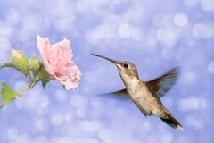 Drömlik bild av en Hummingbird Arkivbilder
