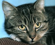 drömlik katt Fotografering för Bildbyråer