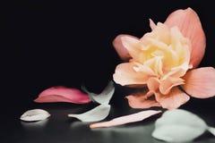 drömlik rosa färgblomma på svart bakgrund arkivbild