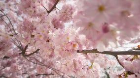 Drömlika körsbärsröda blomningar på trädet lager videofilmer