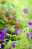 drömm lilan Royaltyfri Bild