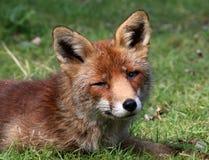 Drömma för röd räv Arkivbild