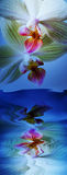 drömma level vatten för orchids två Arkivfoto