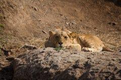 Drömma lion Arkivbild