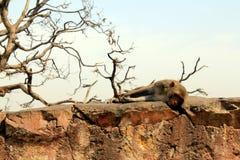 Drömma som en apa Fotografering för Bildbyråer