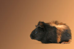 Dr. Fuzz (Pet Guinea Pig) Royalty Free Stock Images