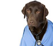 Dr Labrador with Copy Space Stock Photography