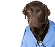 Dr. Labrador mit Exemplar-Platz Stockfotografie
