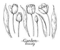Dra för för tulpanblomma och sidor Vektor hand drog inristade flor Arkivfoto