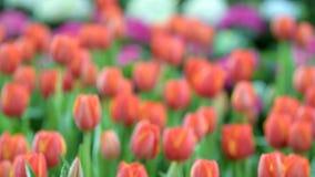 Dra fokusen av tulpan blomma i blommafält lager videofilmer