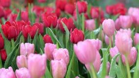 Dra fokusen av tulpan blomma i blommafält stock video