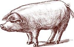Pig Arkivfoton