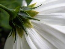 Dra tillbaka av den vita blomman Arkivbild